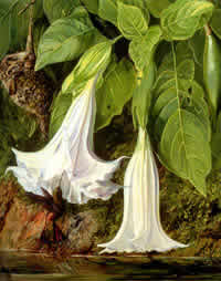 """Flowers of Angel's Trumpet"" Brugmansia arborea  by Marianne North"