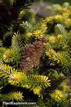 Abies koreana 'Golden Selection'