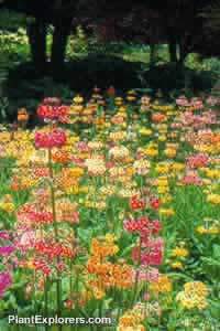 Primula bulleyana and Primula beesiana 