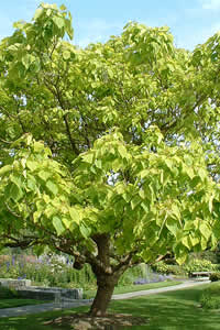 catalpa bignonioides 39 f aurea 39 vandusen seed collectors. Black Bedroom Furniture Sets. Home Design Ideas