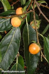 Diospyros lotus : VanDusen Seed Collectors