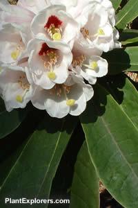 Rhododendron Calophytum Vandusen Seed Collectors